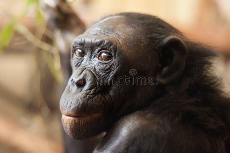 Portret van een aap Bonobo stock afbeelding