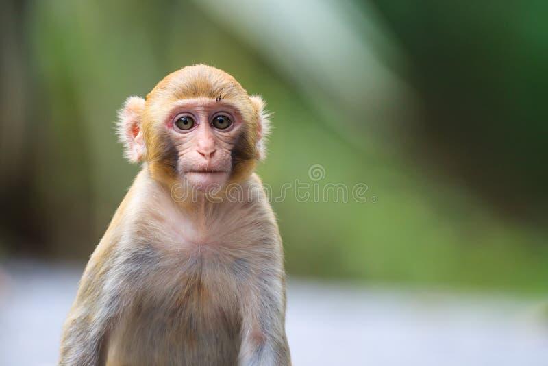 Portret van een aap van de Babyresusaap macaque royalty-vrije stock foto's