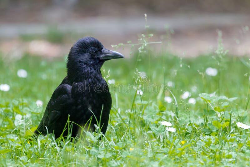 Portret van een Aaskraai - Corvus-corone - in het gras stock fotografie