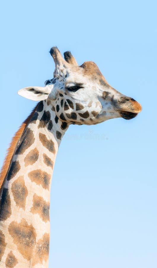 Portret van een Afrikaanse Giraf Hoofd en lange hals stock afbeeldingen