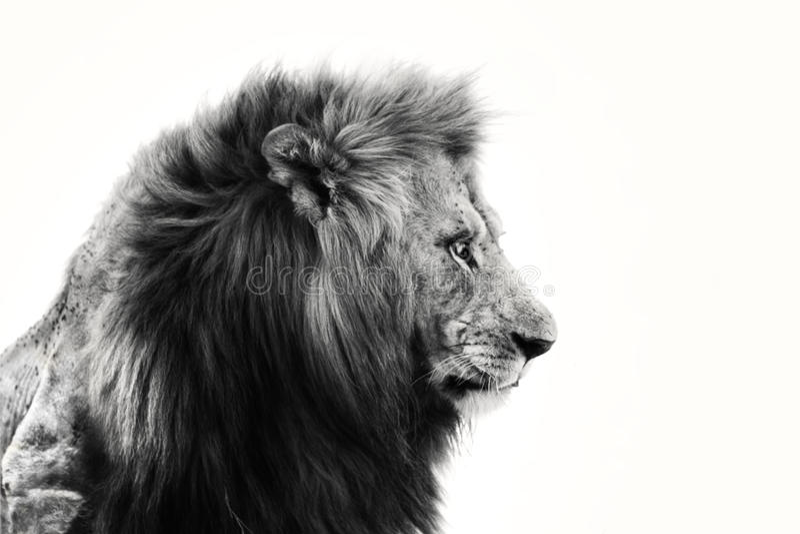Portret van een Afrikaanse leeuw royalty-vrije stock foto's