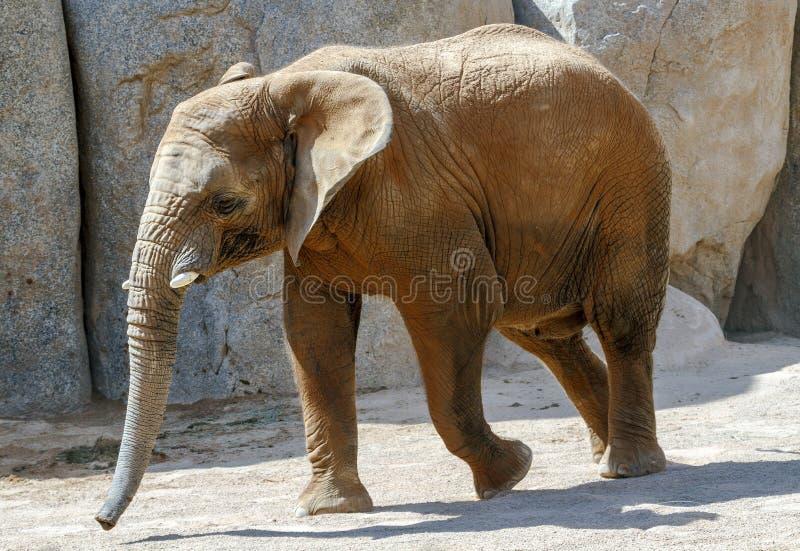 Portret van een Afrikaanse olifant royalty-vrije stock afbeeldingen