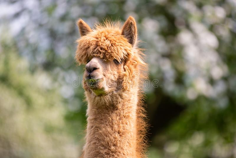 Portret van een Alpaca royalty-vrije stock foto