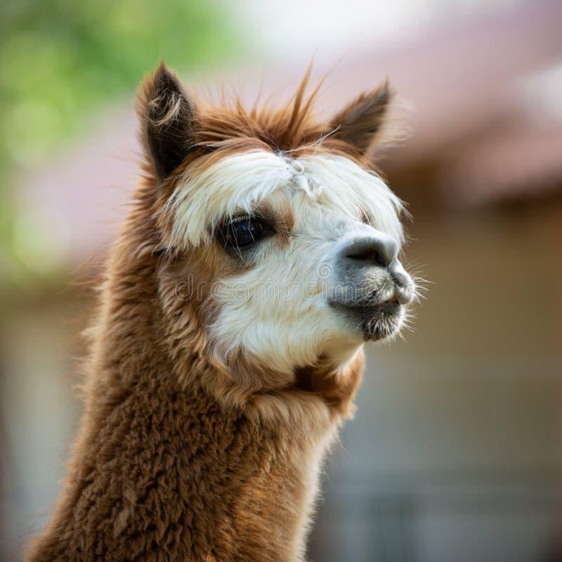 Portret van een Alpaca royalty-vrije stock fotografie