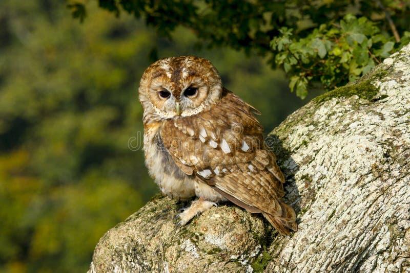 Portret van een alucoroofvogel van Tawny Owl strix in het Britse, Britse platteland royalty-vrije stock fotografie