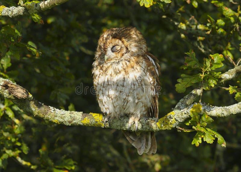 Portret van een alucoroofvogel van Tawny Owl strix in het Britse, Britse platteland royalty-vrije stock afbeelding