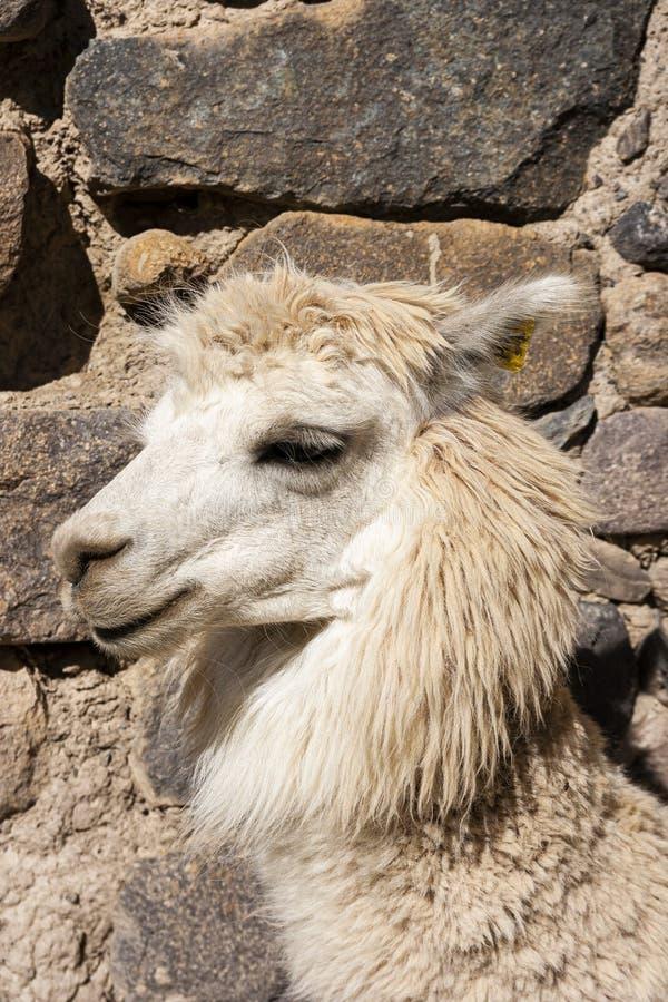 Portret van een Andes witte lama royalty-vrije stock afbeelding