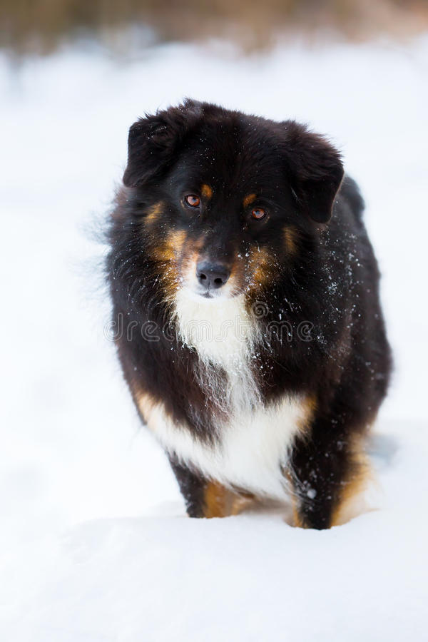 Portret van een Australische Herdershond in sneeuw royalty-vrije stock foto