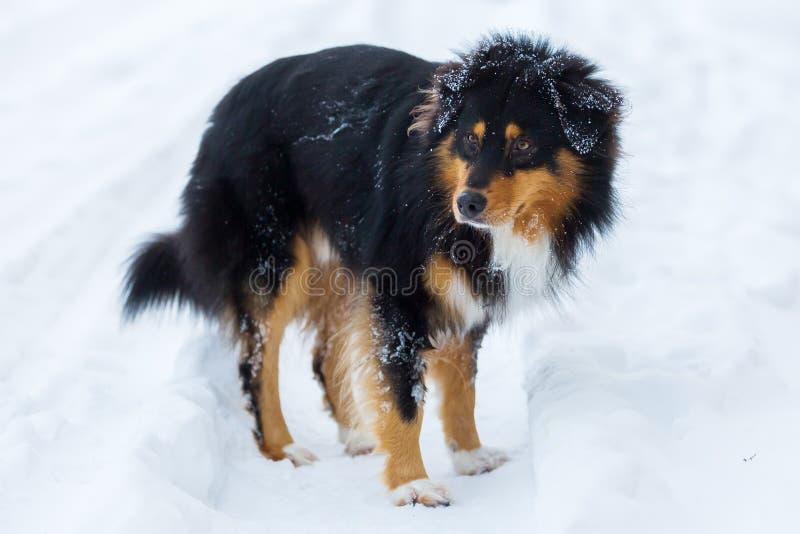 Portret van een Australische Herdershond in sneeuw stock afbeelding