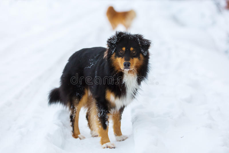 Portret van een Australische Herdershond in sneeuw stock afbeeldingen