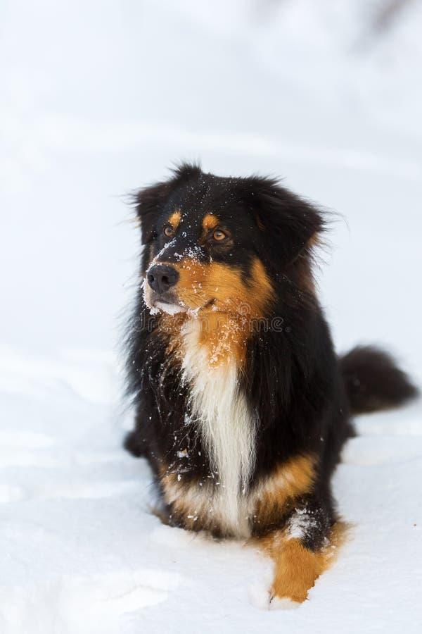 Portret van een Australische Herdershond in sneeuw stock fotografie