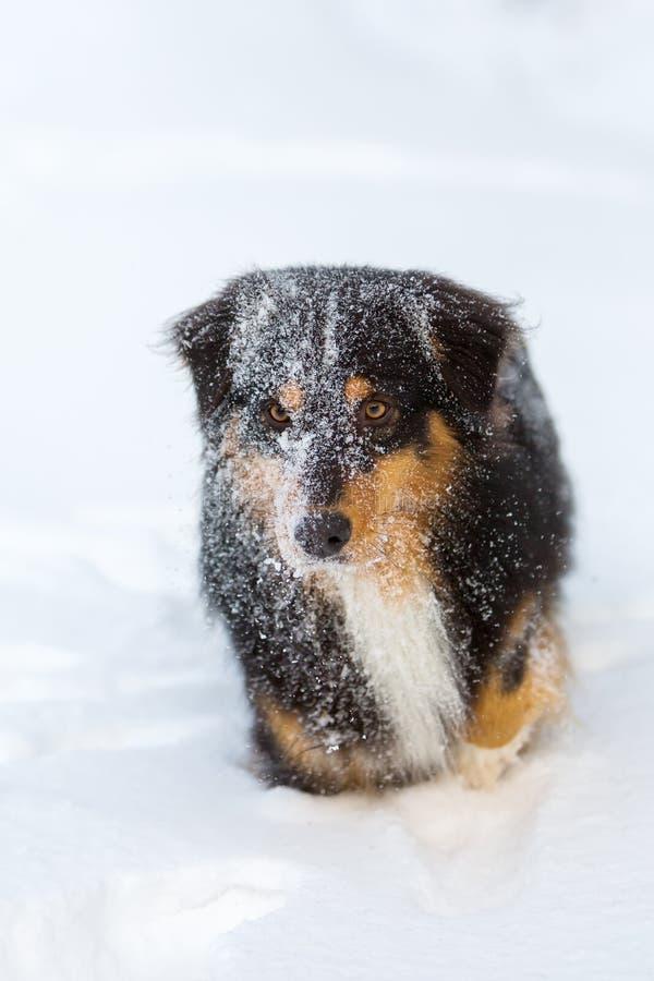 Portret van een Australische Herdershond in sneeuw stock foto