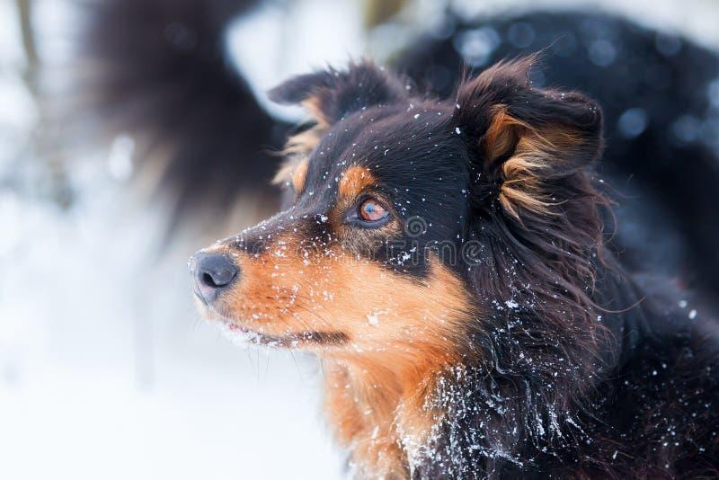 Portret van een Australische Herdershond in sneeuw royalty-vrije stock fotografie