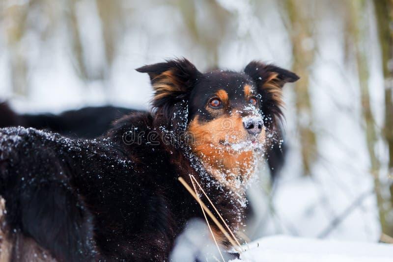 Portret van een Australische Herdershond in sneeuw royalty-vrije stock afbeelding