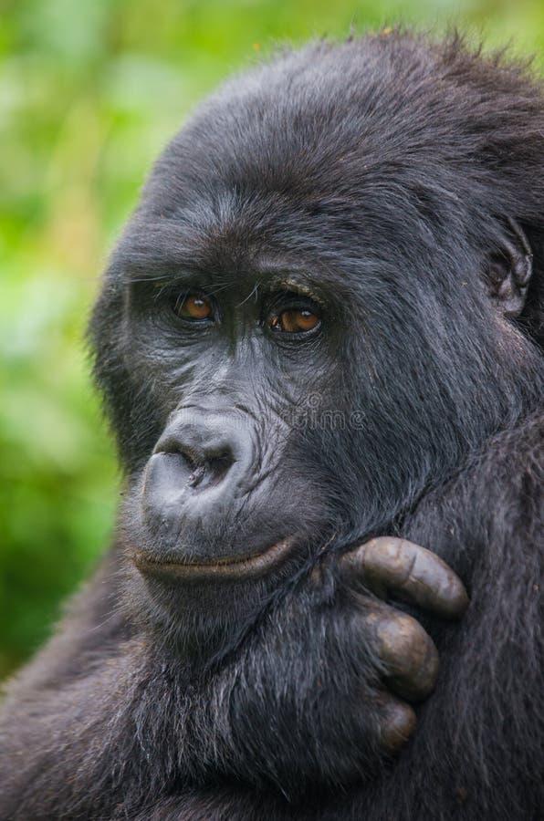 Portret van een berggorilla oeganda Bwindi Ondoordringbaar Forest National Park stock fotografie