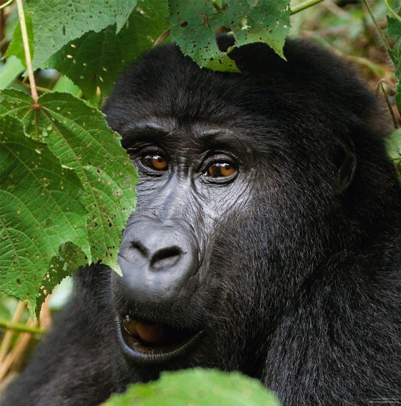 Portret van een berggorilla oeganda Bwindi Ondoordringbaar Forest National Park royalty-vrije stock foto's