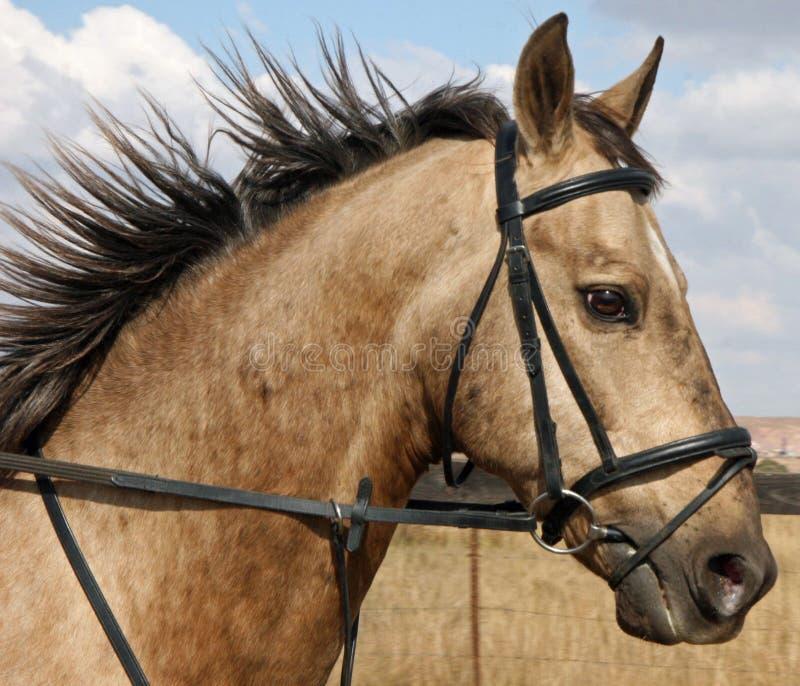 Portret van een beteugeld paard royalty-vrije stock foto
