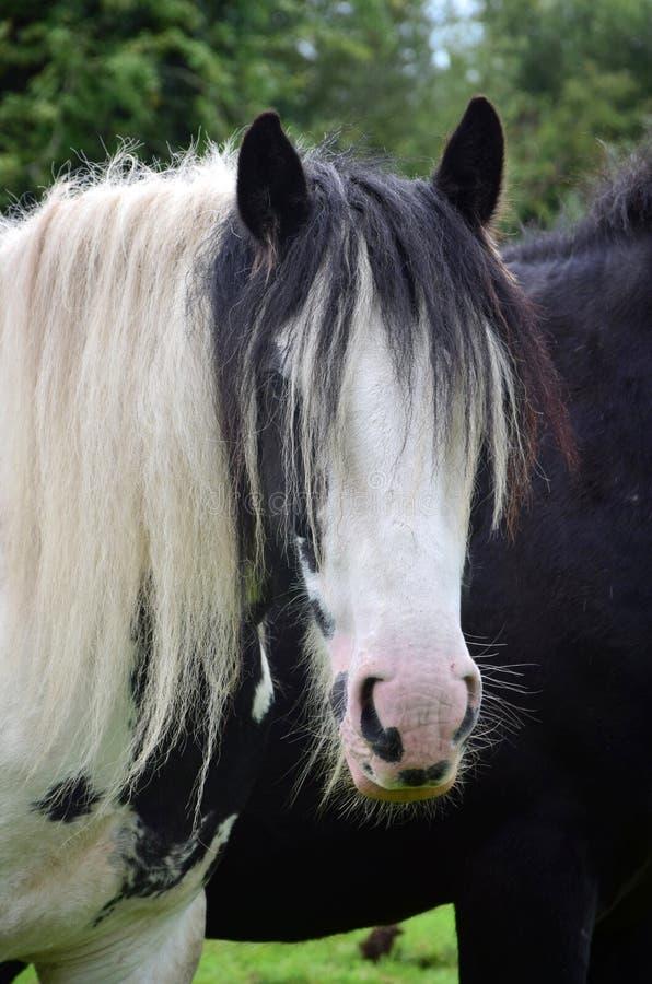 Portret van een Blikslagerspaard in Ierland royalty-vrije stock afbeelding
