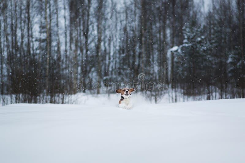 Portret van een Brakhond in de winter De sneeuw valt royalty-vrije stock foto