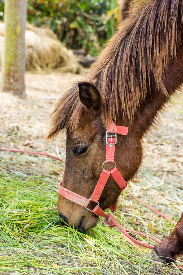 Portret van een Bruin paard die gras eten stock fotografie