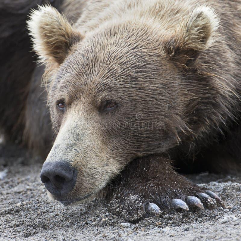Portret van een bruine beer die op de kust van meer liggen royalty-vrije stock fotografie