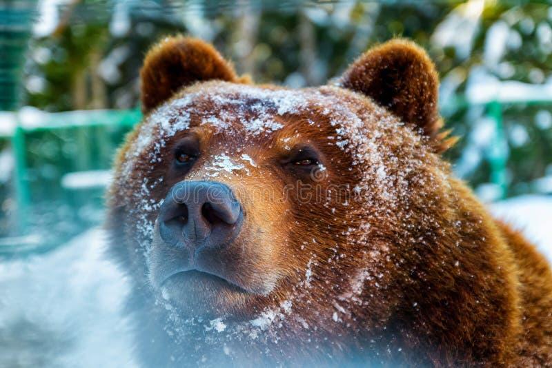 Portret van een bruine beer wakker in de winter stock foto's