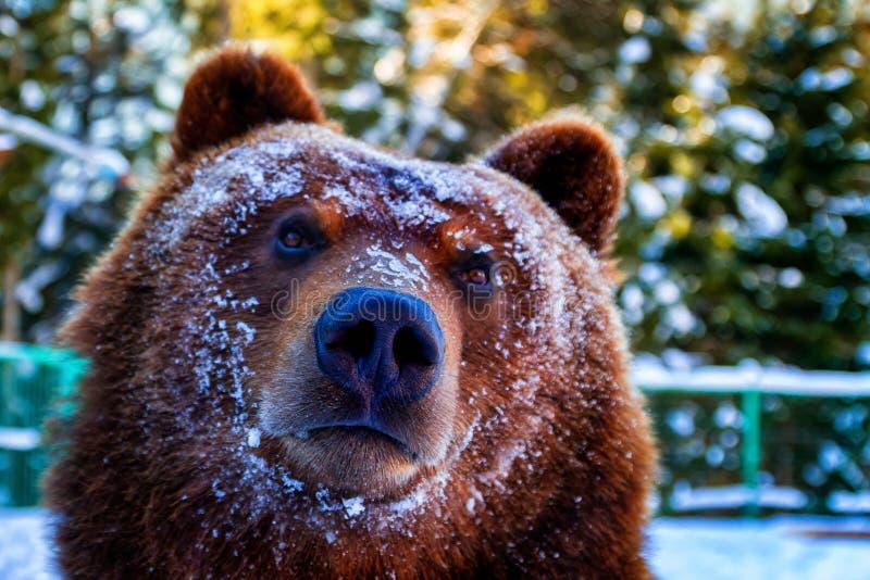 Portret van een bruine beer wakker in de winter stock foto
