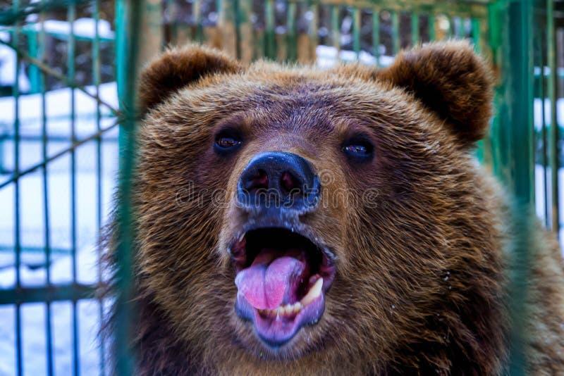 Portret van een bruine beer wakker in de winter royalty-vrije stock foto