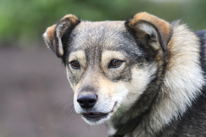 Portret van een bruine hond met een glimlach stock fotografie