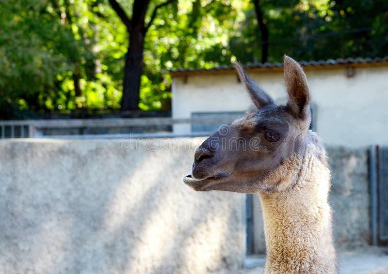 Portret van een bruine lama royalty-vrije stock foto