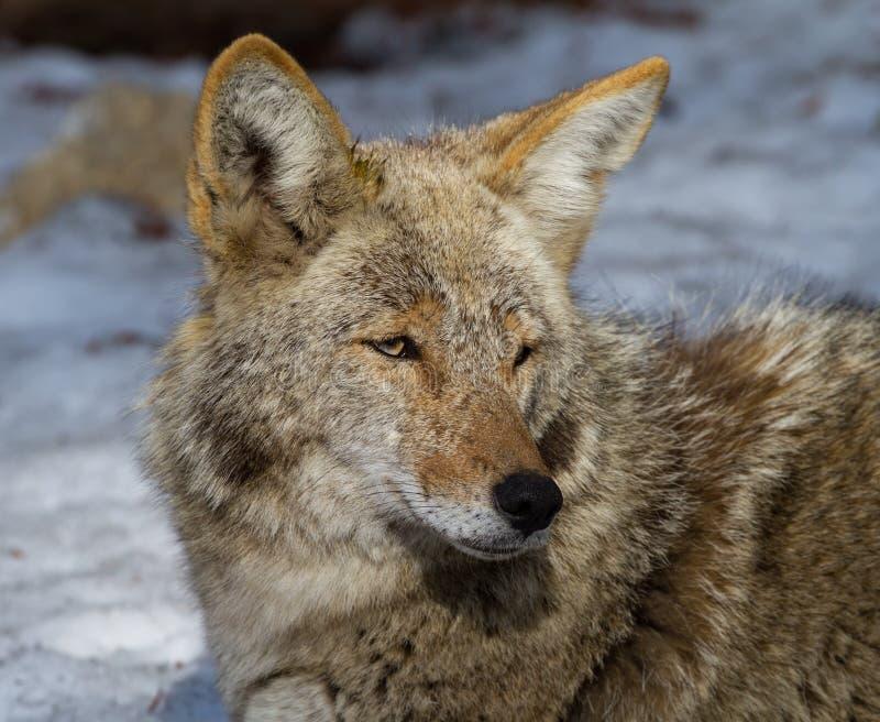 Portret van een coyote royalty-vrije stock afbeeldingen