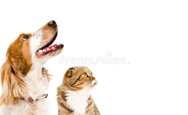 Portret van een van de hond Russische Spaniel en kat Schotse Vouw stock foto's