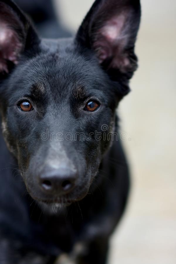 Portret van een droevige zwarte hond Nadruk op bruine ogen Het concept dierlijke schuilplaats royalty-vrije stock afbeeldingen