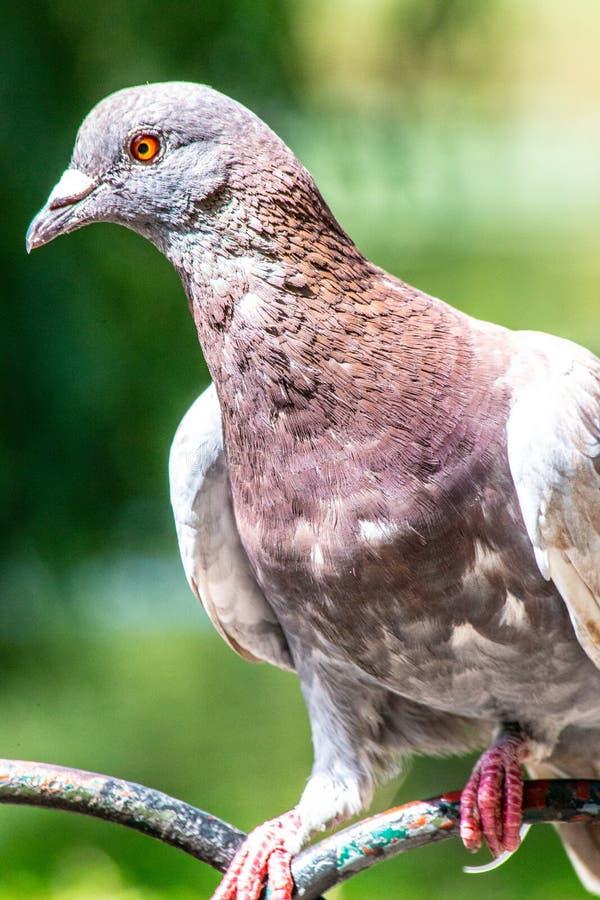 Portret van een duif van Londen in de zomer op een omheining wordt neergestreken die stock foto