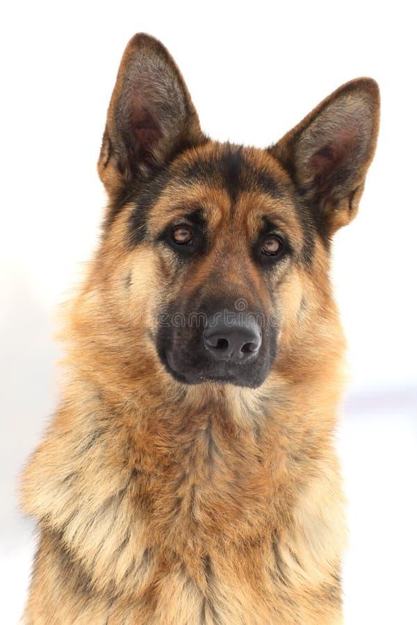 Portret van een Duitse herder royalty-vrije stock fotografie