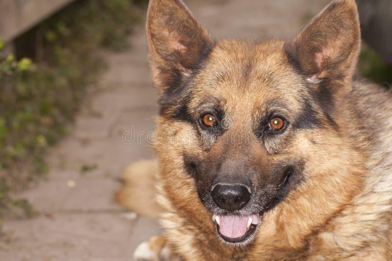 Portret van een Duitse herder stock foto