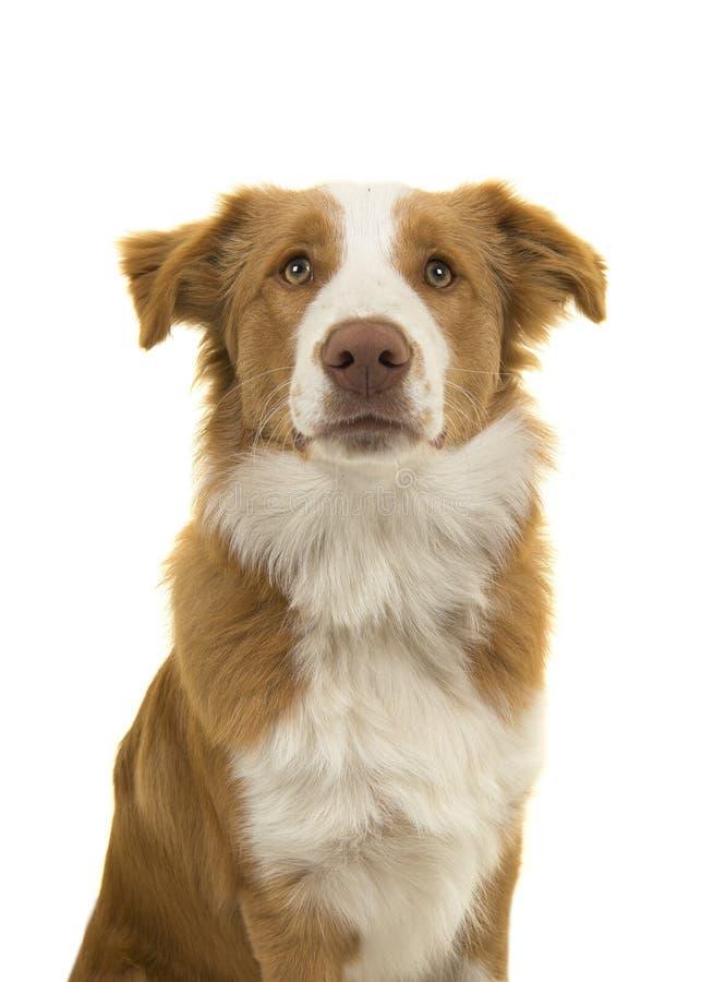 Portret van een EE-Rode border collie-hond op een wit verstand als achtergrond stock fotografie