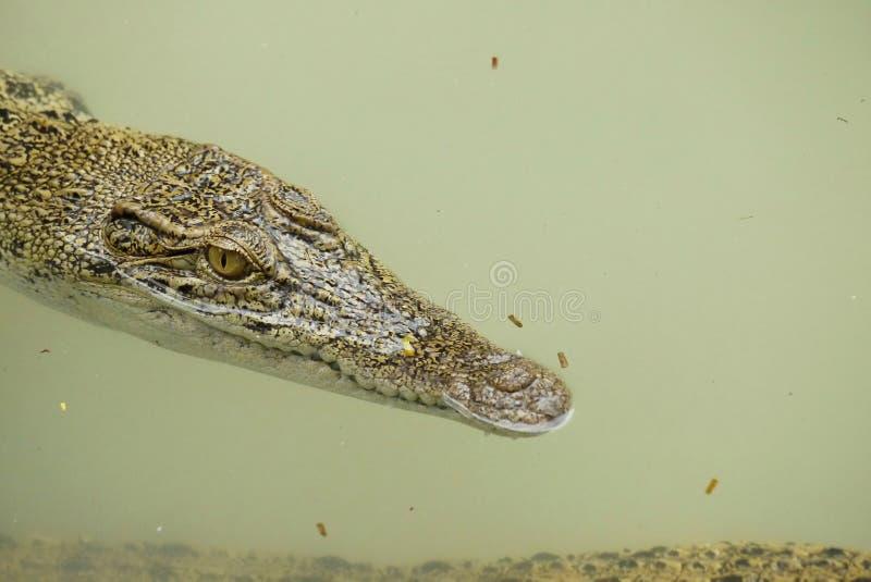 Portret van een Estuarine Krokodil stock foto's