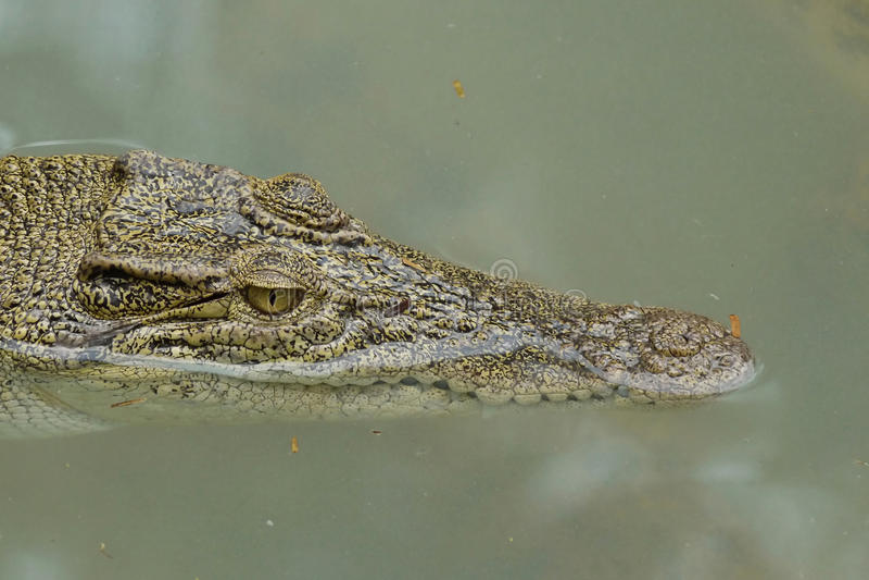 Portret van een Estuarine Krokodil royalty-vrije stock afbeelding