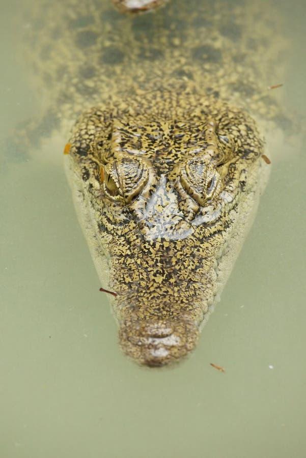 Portret van een Estuarine Krokodil stock afbeelding