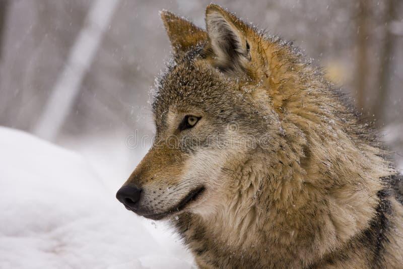 portret een europese grijze wolf stock foto
