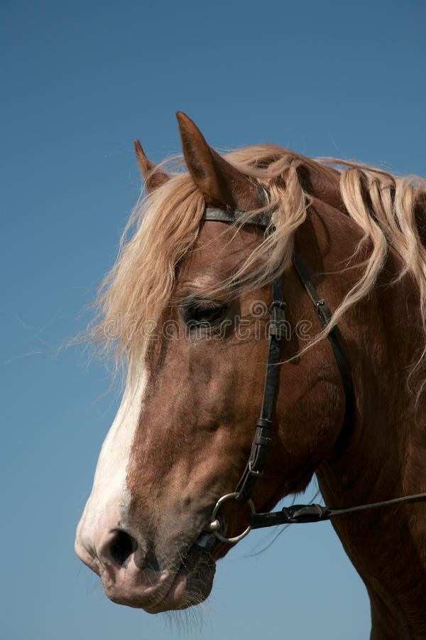 Portret van een favoriet paard royalty-vrije stock afbeelding