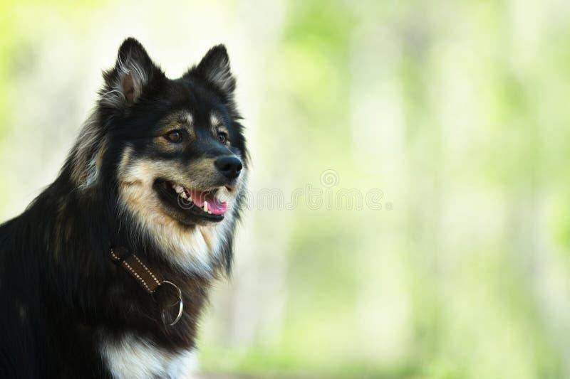 Portret van een Finse Lapphund stock foto