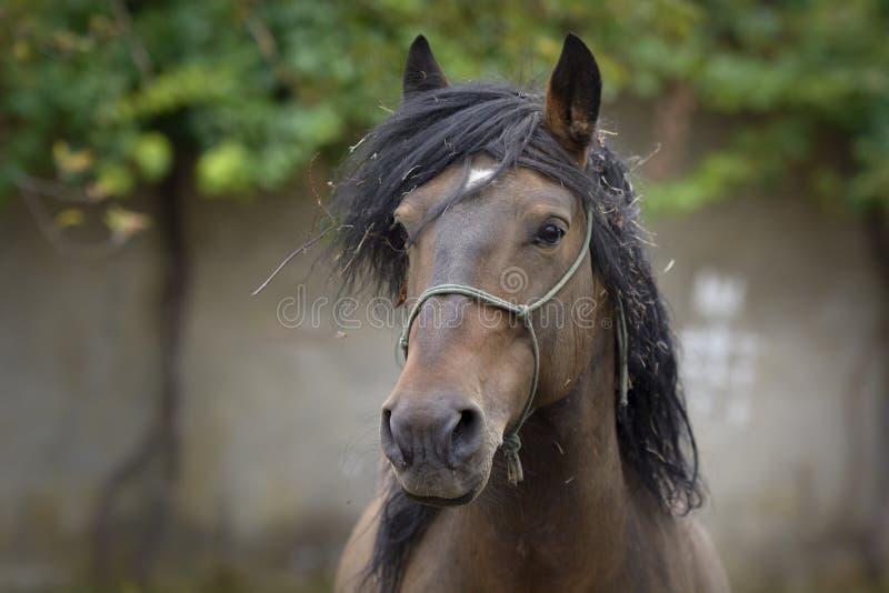 Portret van een Galicisch Rasecht hengstpaard met slordig haar stock foto