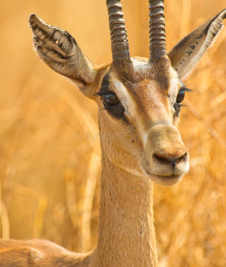Portret van een Gazelle Grant´s stock foto's