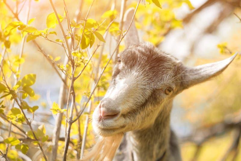 Portret van een geit die een gras op een gele weide eten royalty-vrije stock afbeelding
