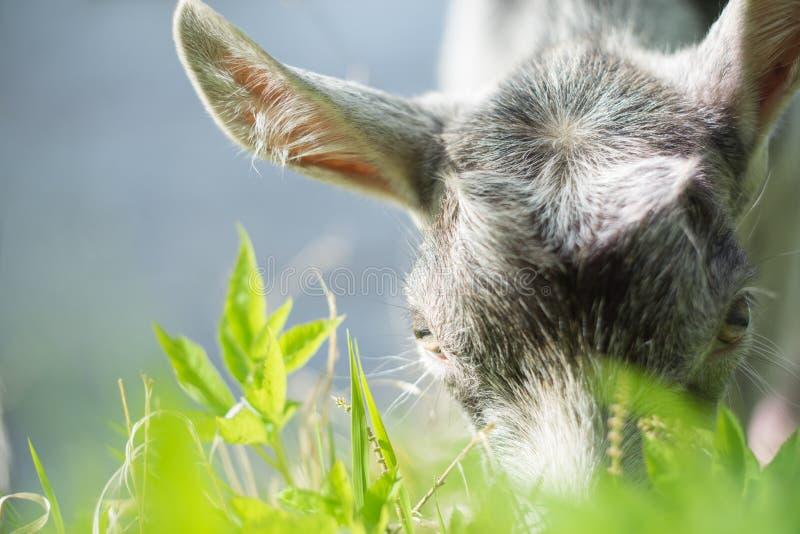 Portret van een geit die een gras op een groene weide eten royalty-vrije stock fotografie