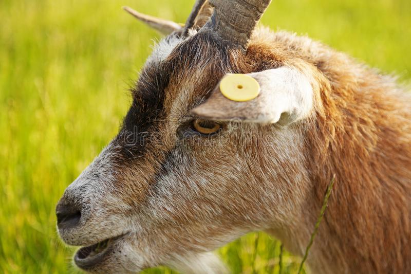 Portret van een geit op de zomerweide stock afbeeldingen