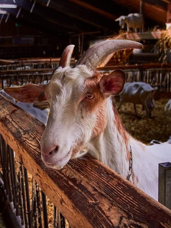 Portret van een geit op een landbouwbedrijf stock foto's