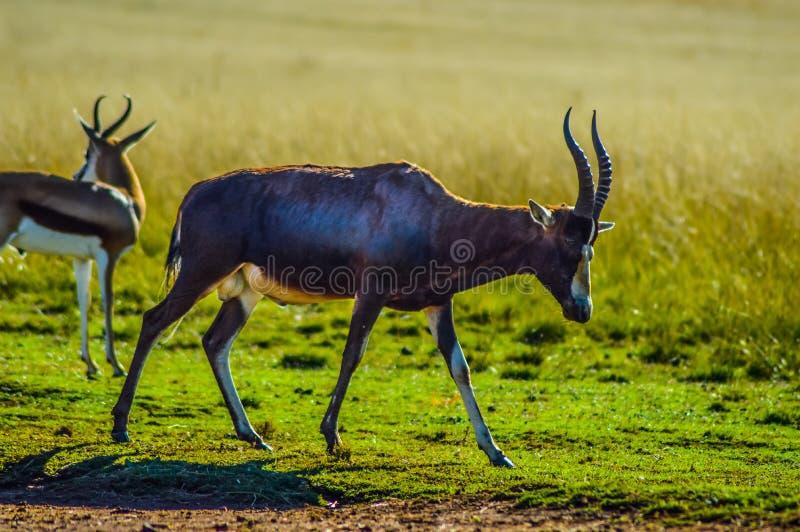 Portret van een gemeenschappelijke lunatusantilope van Tsessebe Damaliscus in het spelreserve Zuid-Afrika van Johannesburg stock afbeeldingen